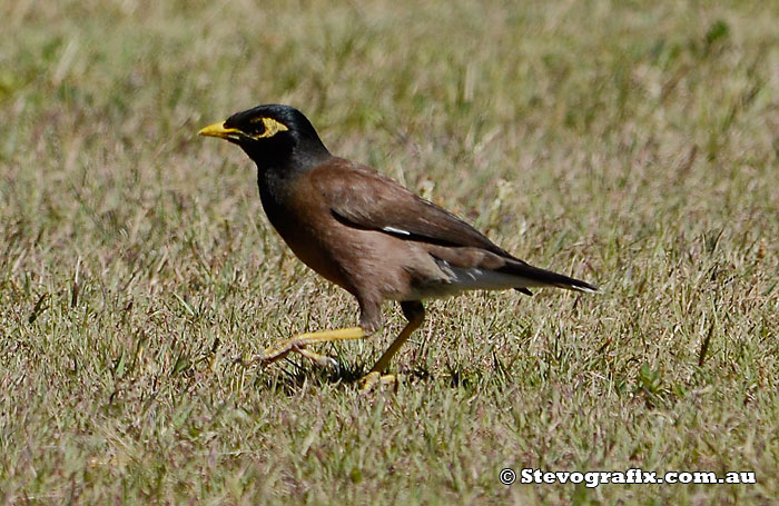 Indian or Common Mynah - Acidotheres tristis - Stevografix